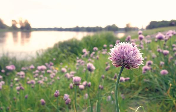 Фото обои цветы, озеро, природа, розовые, шапки, лук, поляна
