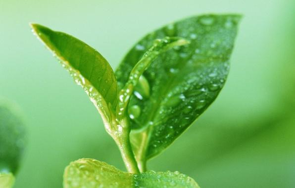 Картинка лето, листья, капли, макро, природа, воды, зеленые