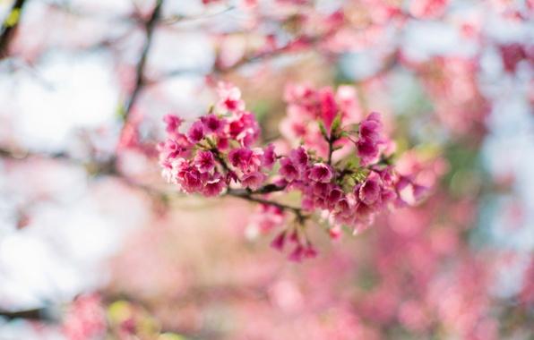 Картинка цветы, ветки, дерево, весна, Сакура, розовые, цветение, боке
