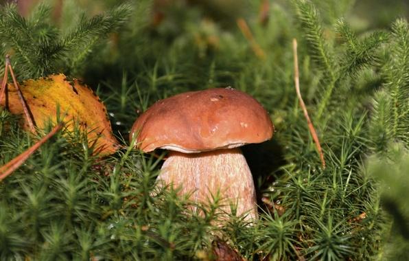Картинка белый, гриб, листок, мох, боровик
