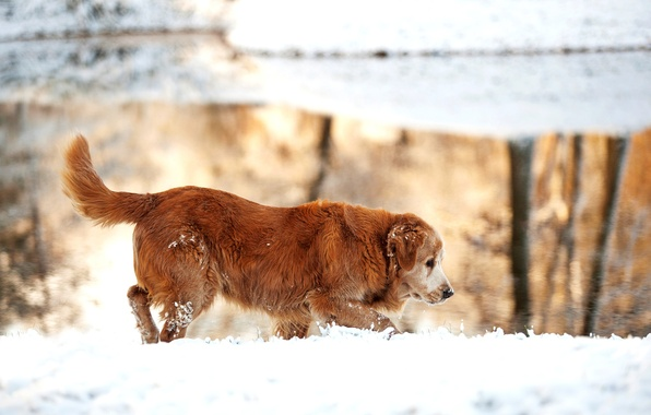 Картинка зима, снег, природа, озеро, собака, золотистый, ретривер