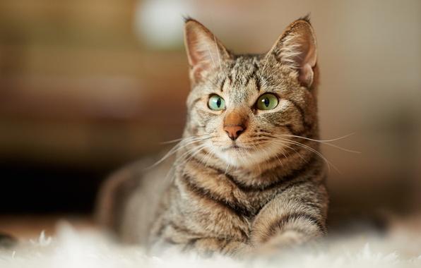 Картинка взгляд, серый, ковер, Кот, лежит, полосатый