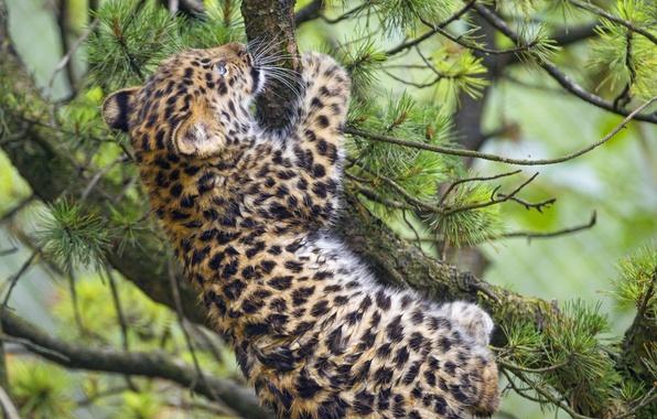 Картинка кошка, ветки, леопард, детёныш, котёнок, сосна, амурский, ©Tambako The Jaguar