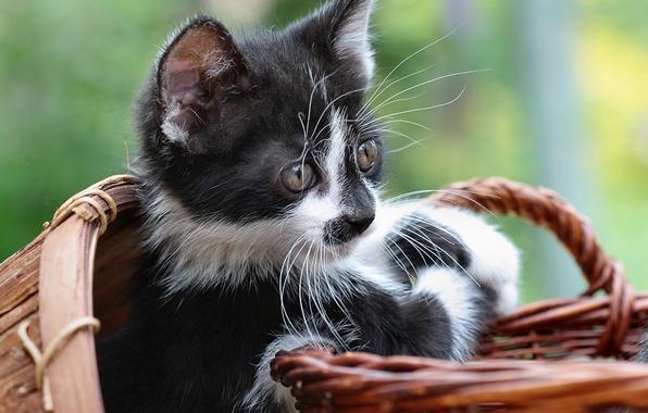 Картинка взгляд, котенок, корзинка, бело-черный