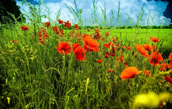 Картинка поле, небо, трава, цветы, тучи, маки, луг