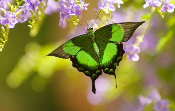 Картинка макро, цветы, бабочка, боке, Парусник Палинур, дуранта