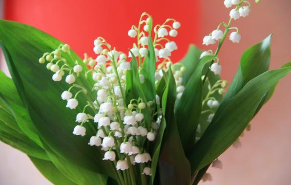 Картинка цветы, букет, весна, белые, ландыши, ландыш