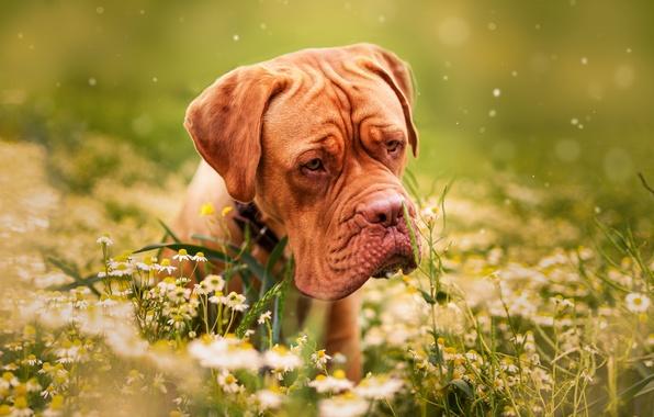 Картинка трава, цветы, природа, животное, ромашки, собака, пёс, дог, бордоский дог