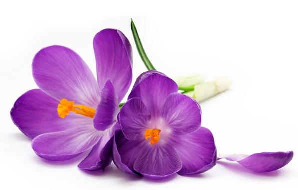 Картинка лепесток, фиолетовые, крокусы, белый фон