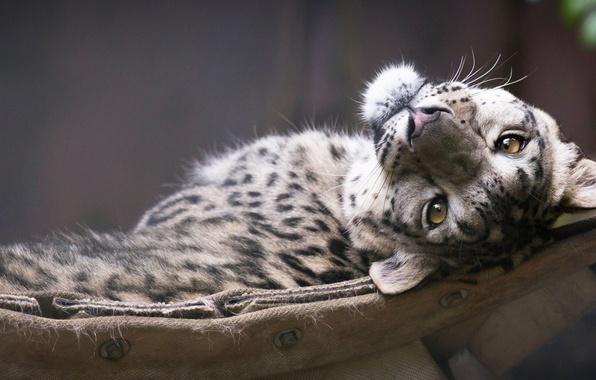 Обои картинки фото snow leopard морда