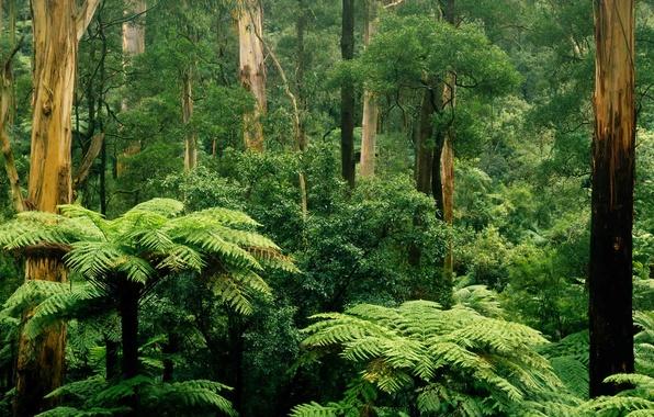 Картинка лес, листья, деревья, заросли, Виктория, Австралия, папоротник, Шербрук