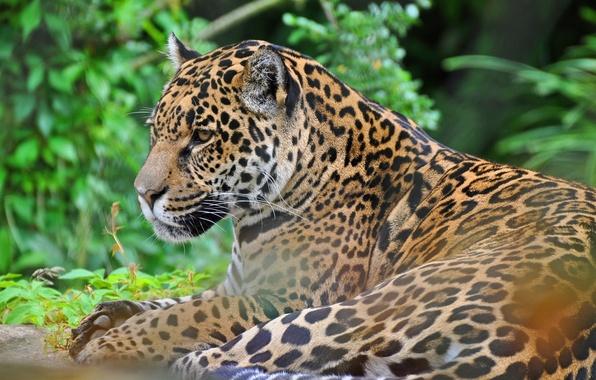 Картинка морда, хищник, ягуар, дикая кошка, panthera onca