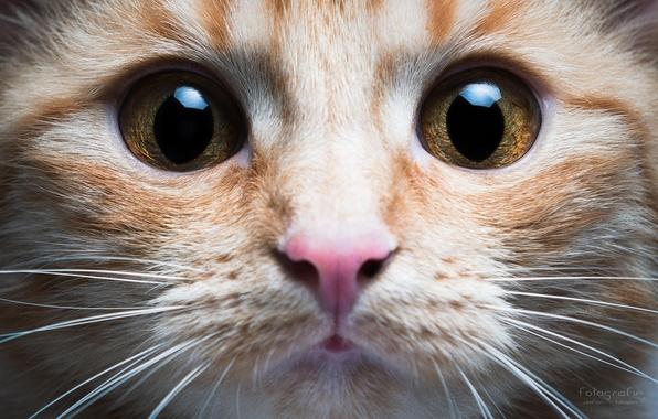 Картинка кошка, глаза, кот, усы, морда, нос, Stefan Häusler