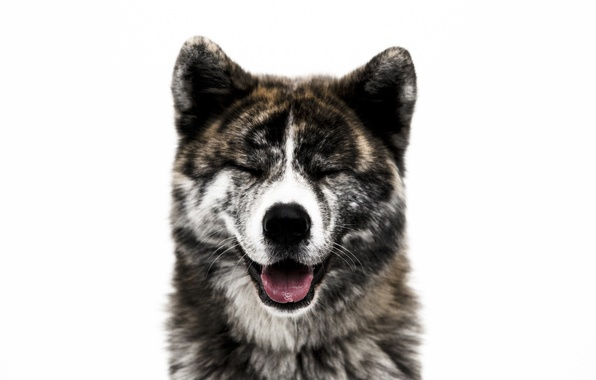 Картинка морда, друг, собака, шерсть, нос, Акита-ину
