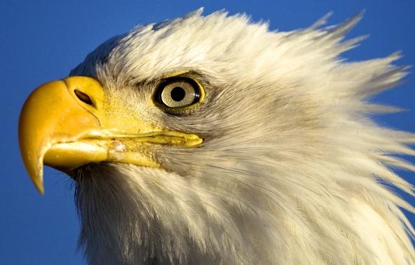 Картинка небо, глаза, птица, орел