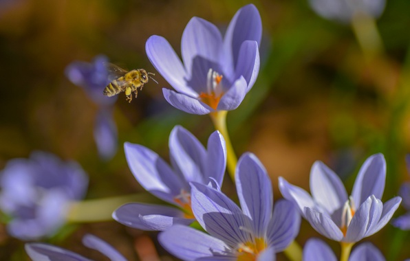 Картинка макро, пчела, весна, крокусы, насекомое, шафран