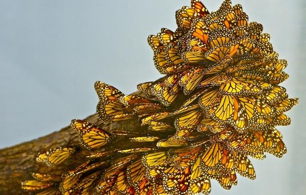 Картинка макро, бабочки, много