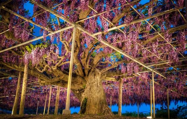Картинка фото, Природа, Япония, Парк, Глициния, Ashikaga, Flower Park