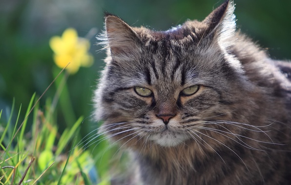 Картинка лето, трава, взгляд, морда, природа, пушистый, Кот