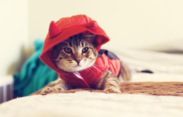 Картинка кот, взгляд, макро, животное, одежда, капюшон