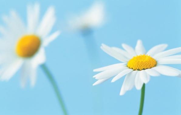 Картинка цветок, макро, фон, голубой, лепестки, ромашка, белые