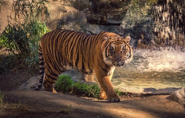 Картинка зелень, кошка, животные, трава, взгляд, вода, брызги, тигр, водопад, всплески, прогулка, внимание, поступь