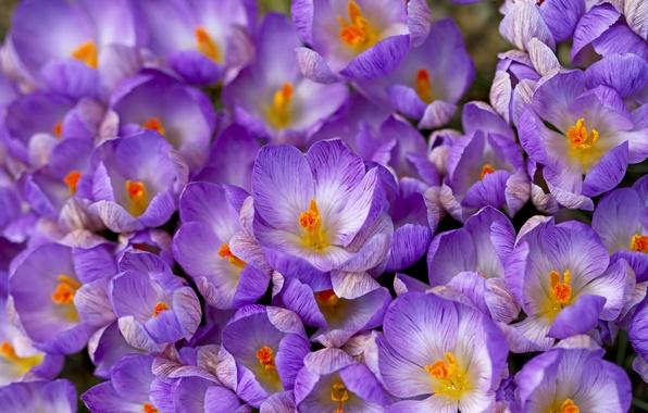 Картинка весна, крокусы, шафран