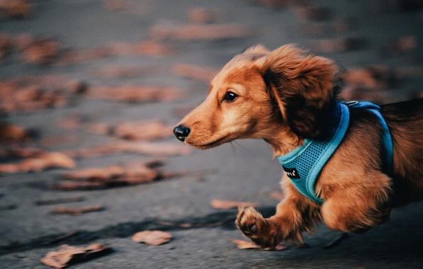 Картинка осень, собака, бег, такса