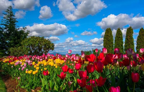 Картинка небо, облака, деревья, цветы, тюльпаны, плантация