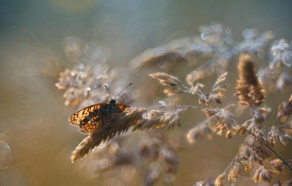Картинка макро, блики, бабочка, колоски, насекомое, боке