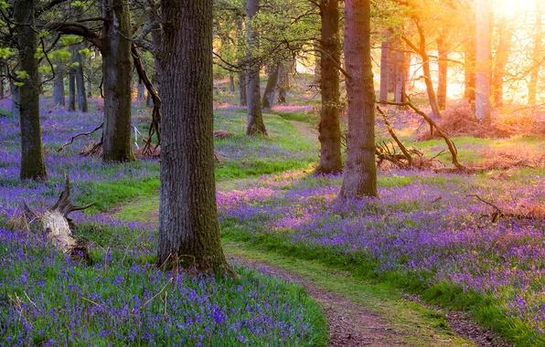 Картинка лес, трава, деревья, цветы, весна, Шотландия, тропинка