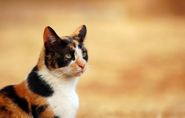 Картинка кошка, белый, кот, черный, рыжий, домашнее животное, трехцветное