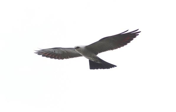 Картинка птица, крылья, хищник, полёт, взмах, Mississippi kite, Ictinia mississippiensis, Миссисипский коршун