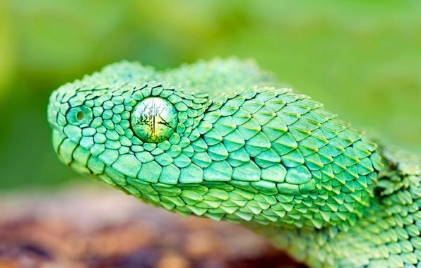 Картинка глаз, змея, голова, чешуя, пресмыкающееся