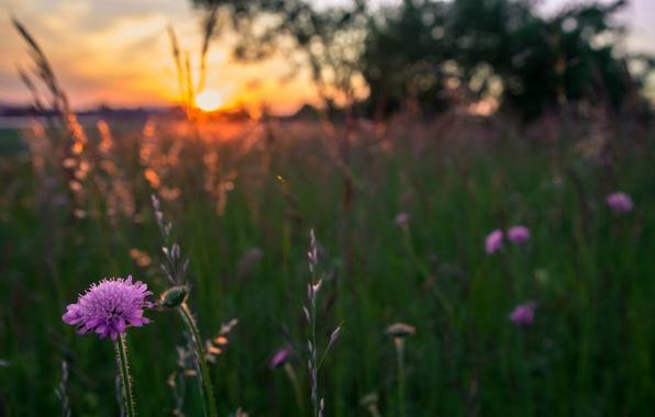 Картинка поле, трава, солнце, макро, закат, Цветы, вечер, размытость, сиреневые