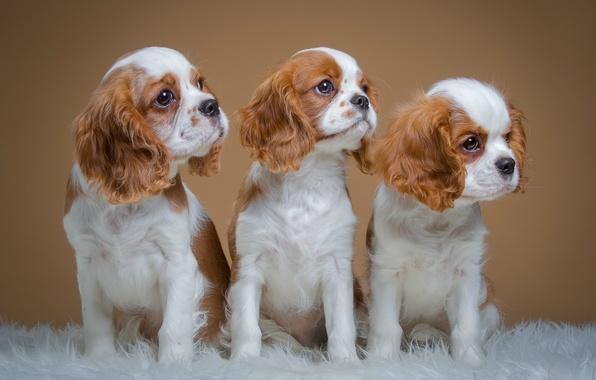 Картинка щенки, трио, пятнистые, спаниели