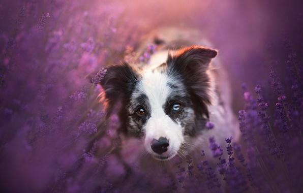 Картинка взгляд, морда, цветы, собака, лаванда, Бордер-колли