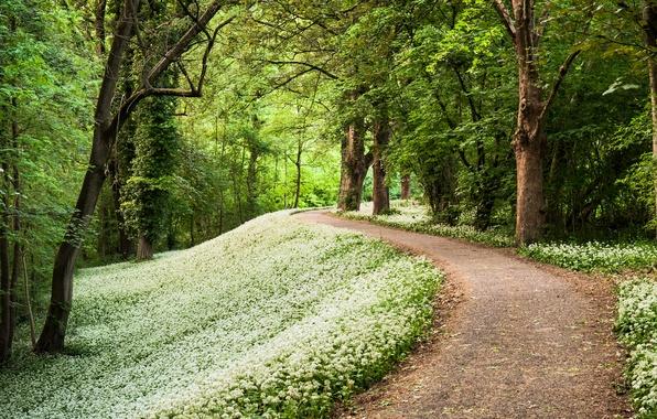 Картинка лес, деревья, весна, Германия, дорожка, тропинка, Germany, лесопарк, черемша