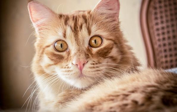 Картинка кошка, кот, взгляд, портрет, мордочка, рыжая