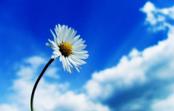 Картинка небо, Цветок, ромашка