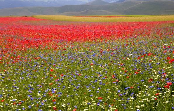 Картинка поле, трава, цветы, маки, ромашки, васильки