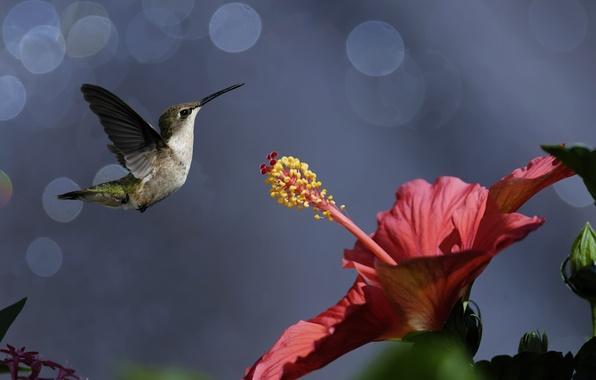 Картинка цветок, птицы, природа, колибри, птичка, боке, гибискус