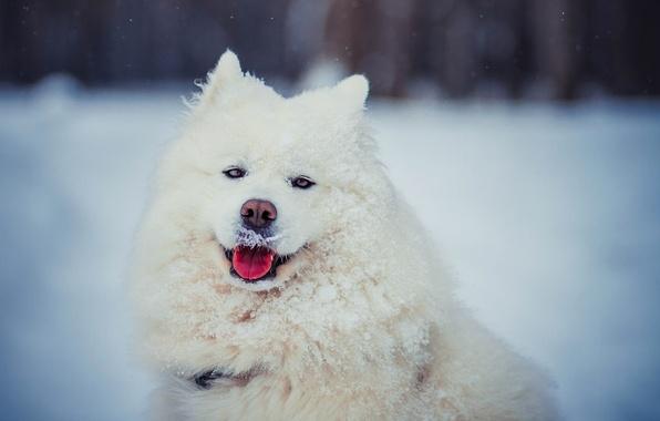 Картинка зима, язык, взгляд, морда, снег, собака, шерсть, белая, Самоед