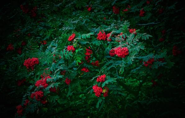 Картинка листья, ягоды, дерево, рябина