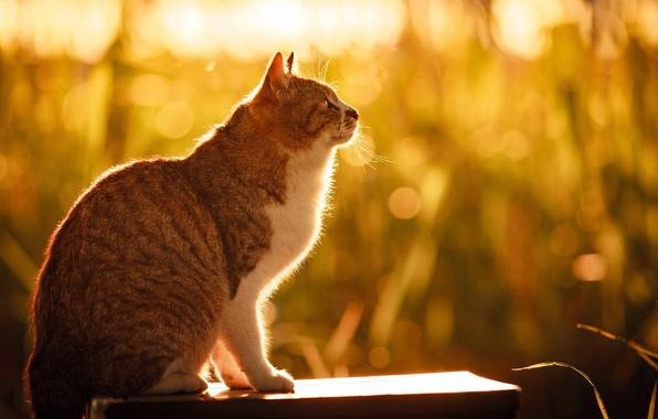 Картинка кошка, лето, трава, кот, солнце, свет, природа, сидит, боке