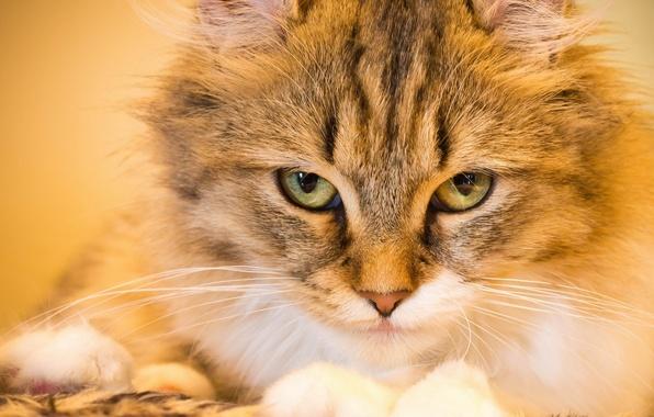 Картинка кошка, кот, взгляд, мордочка