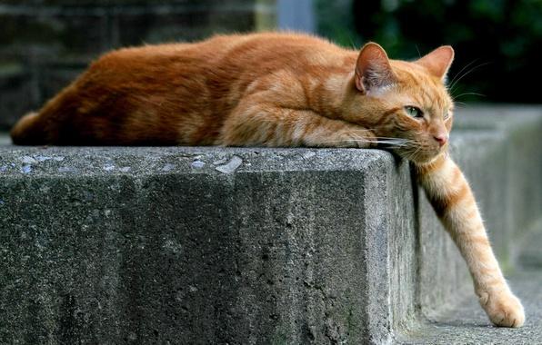 Картинка кошка, кот, лапа, рыжий, лежит