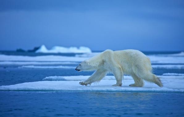 Обои вода, льдина, белый медведь