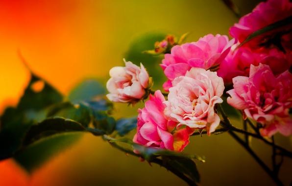 Картинка макро, розы, ветка