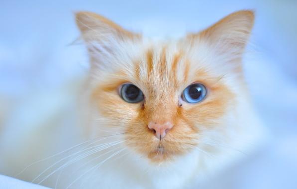 Картинка кошка, кот, взгляд, мордочка, голубые глаза